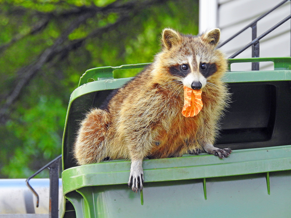raccoon feeding winter