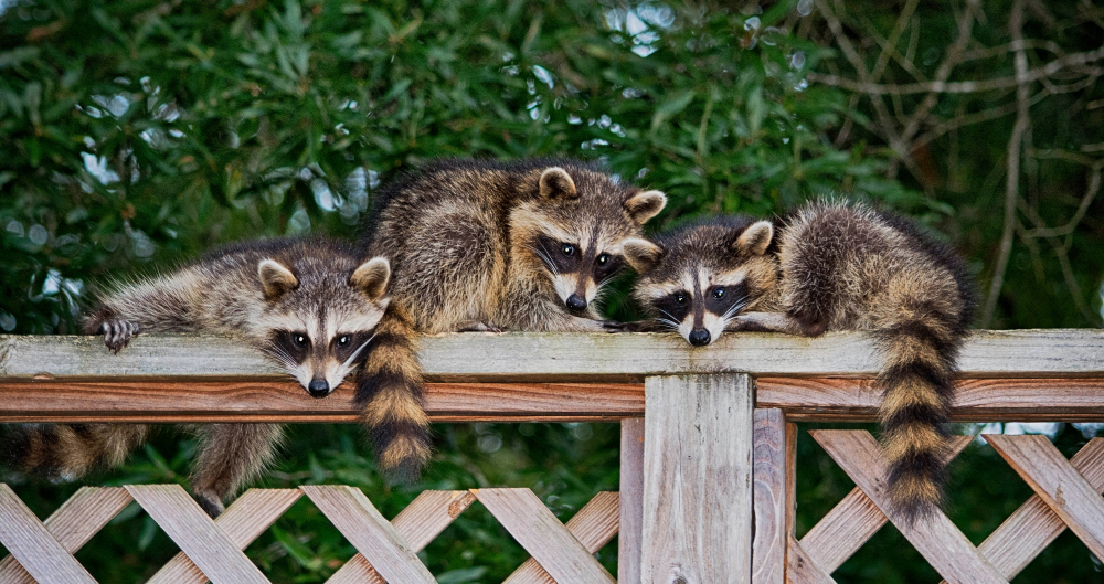 Toronto Raccoons - Stories and Facts of Toronto Raccoons